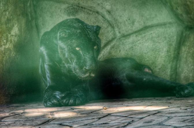 """""""El Negro"""", Jaguar del Parque La Venta, en su última etapa de vida: especialista"""