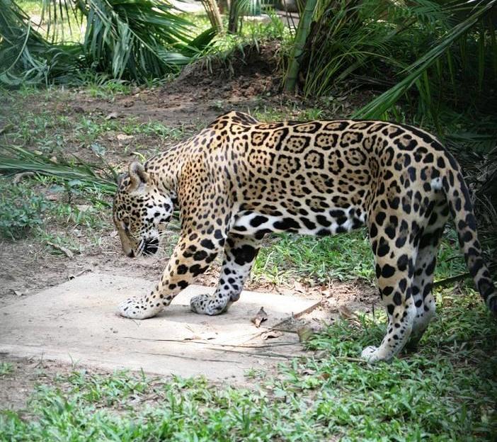 Cultura Jaguar1